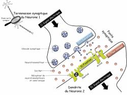 Libération neurotransmetteurs